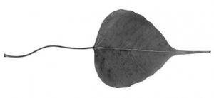 bodhi-leaf
