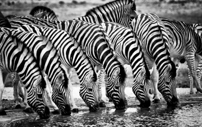 Six Zebra drinking in Etosha National Park, Namibia
